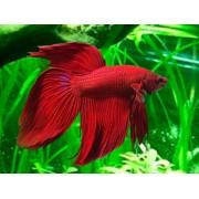BETTA- Μονομάχος (Ψάρια Γλυκού Νερού)