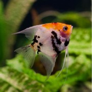 PANDA ANGELFISH- Αγγελόψαρο (Ψάρια Γλυκού Νερού)