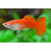 GUPPY ΑΡΣΕΝΙΚΑ (MALE) (Ψάρια Γλυκού Νερού)