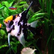 TRICOLOR ANGELFISH- Αγγελόψαρο (Ψάρια Γλυκού Νερού)